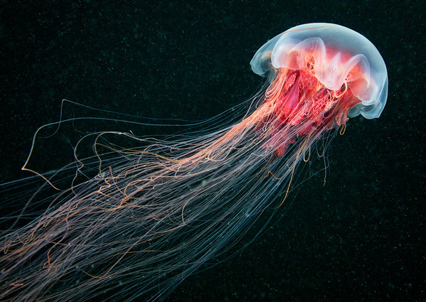jellyfish madness by alexander semenov 12 Jellyfish Madness by Alexander Semenov