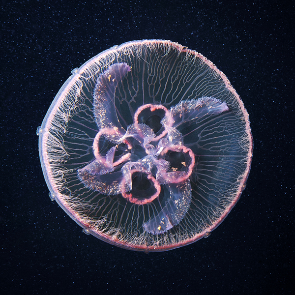 jellyfish madness by alexander semenov 13 Jellyfish Madness by Alexander Semenov