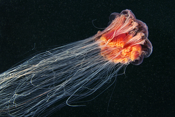 jellyfish madness by alexander semenov 4 Jellyfish Madness by Alexander Semenov