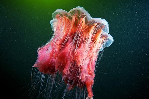 Jellyfish Madness by Alexander Semenov (5)