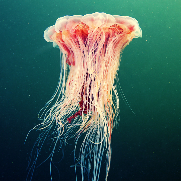 jellyfish madness by alexander semenov 9 Jellyfish Madness by Alexander Semenov