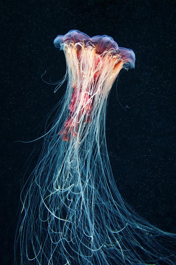 Jellyfish Madness by Alexander Semenov