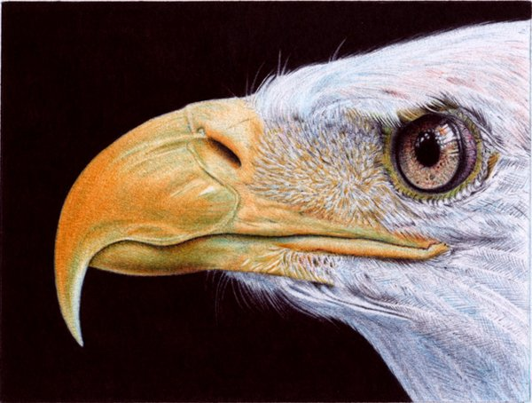 bald eagle   ballpoint pen by vianaarts d52qwc21 Photo or Pen? Photorealistic Artwork by Samuel Silva