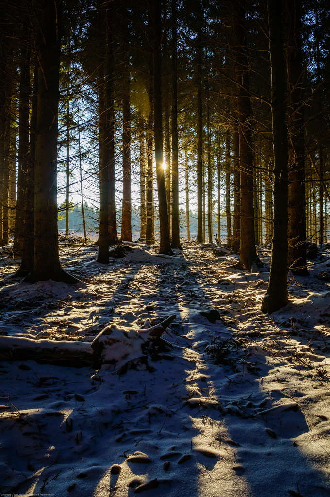 Sun through a dark winter forest