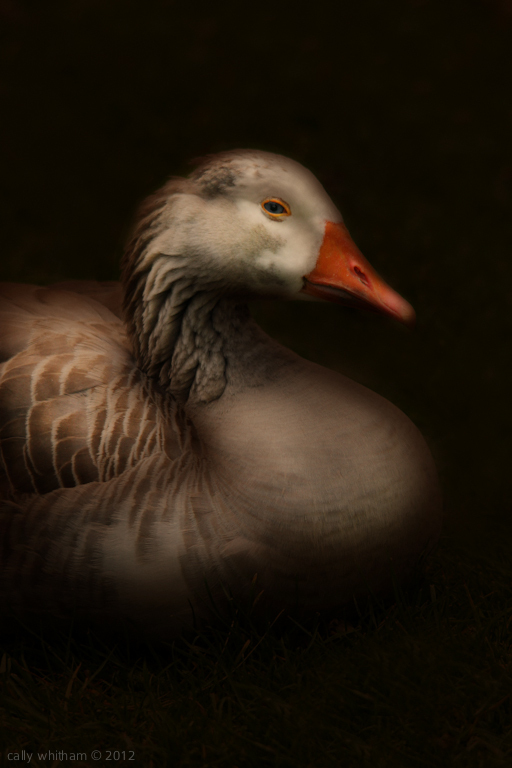 geese 2 Rural Beginnings: Aesthetic Photography by Cally Whitham