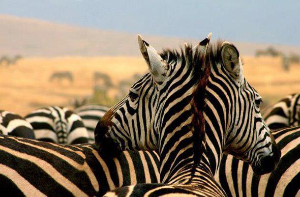 Two Headed Zebra
