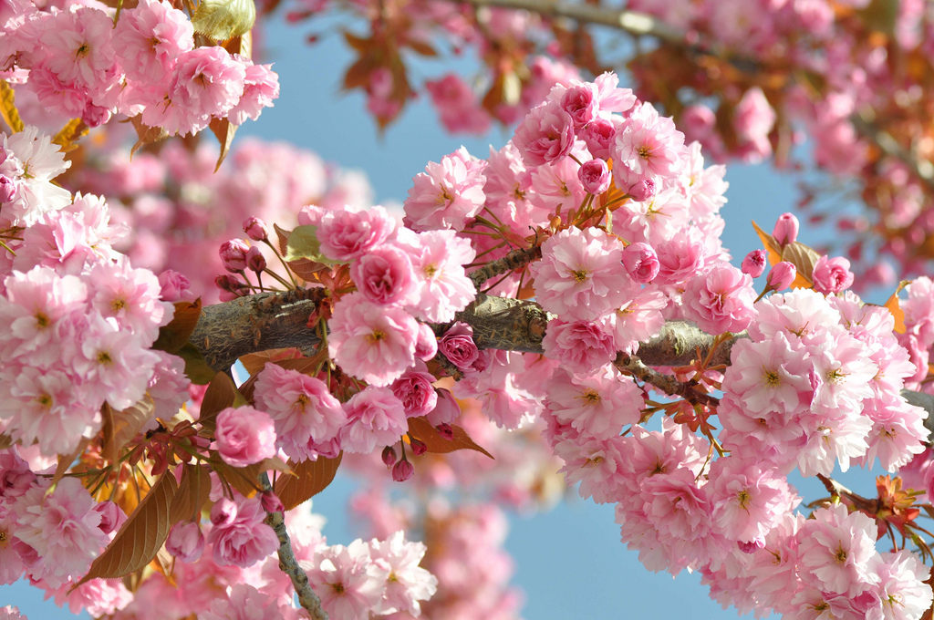 4544636861 f7bda7b3cb b1 Spring Around the World: 25 Fascinating Cherry Blossom Photos