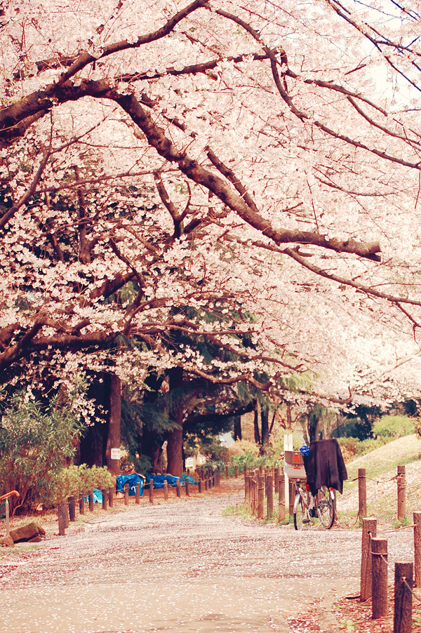 Hanami by Suchi Bird