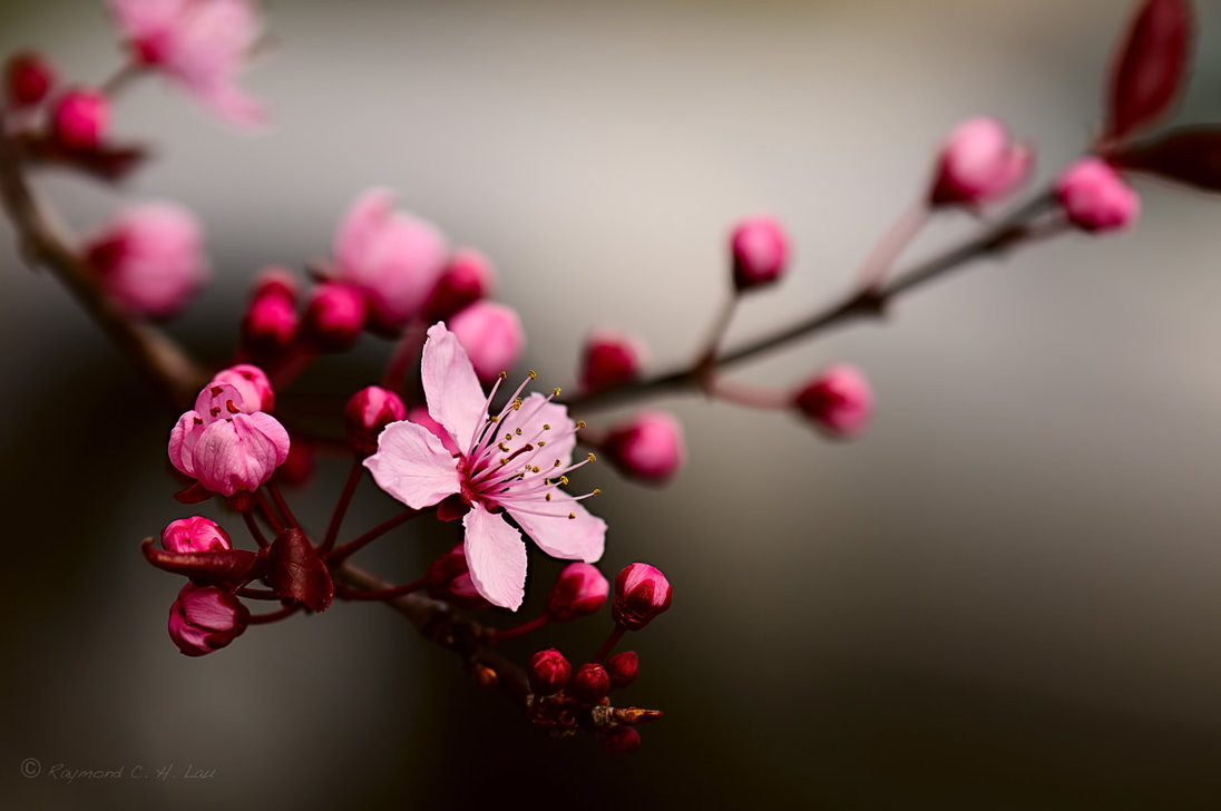 cherry blossom by raylau d4ve9921 Spring Around the World: 25 Fascinating Cherry Blossom Photos