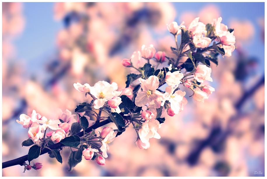 Cherry Blossom by Regadenzia
