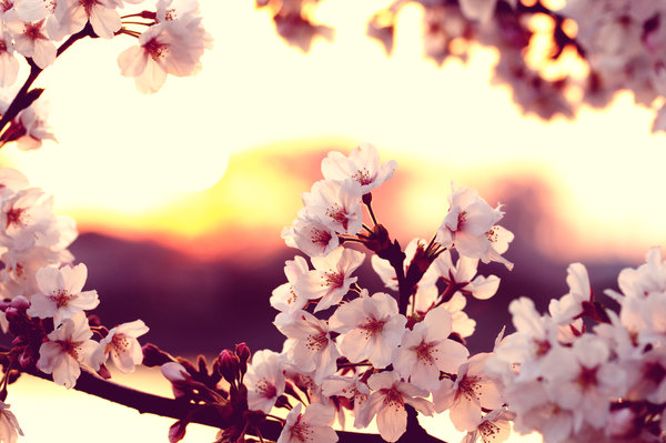 cherry blossom sunset by jyoujo d4ef6qm1 Spring Around the World: 25 Fascinating Cherry Blossom Photos