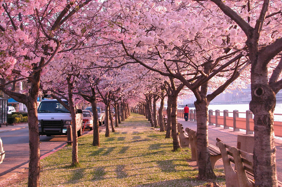 cherry blossom walk by fairyontheinside1 Spring Around the World: 25 Fascinating Cherry Blossom Photos