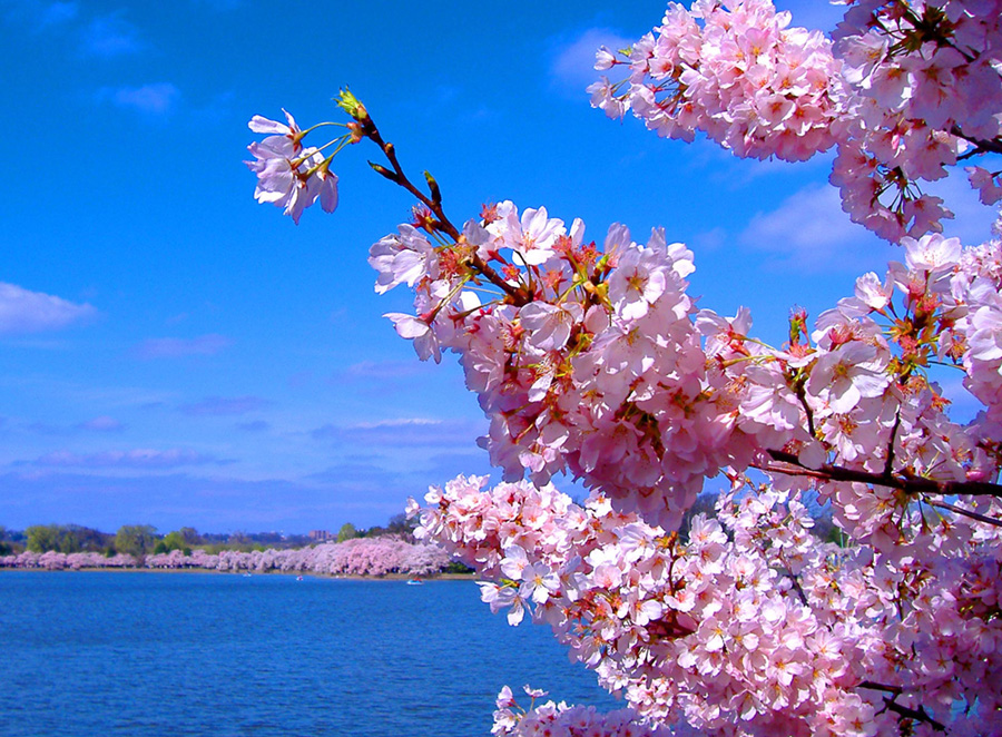 cherry blossoms by samantha00551 Spring Around the World: 25 Fascinating Cherry Blossom Photos