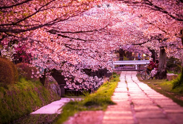 cherryblossom02 640x4341 Spring Around the World: 25 Fascinating Cherry Blossom Photos