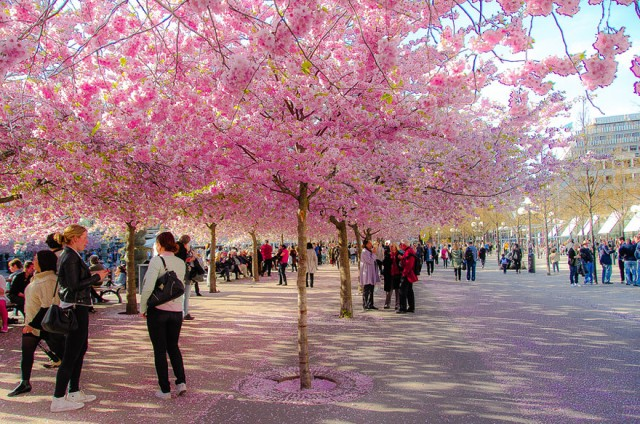 cherryblossom06 640x4241 Spring Around the World: 25 Fascinating Cherry Blossom Photos