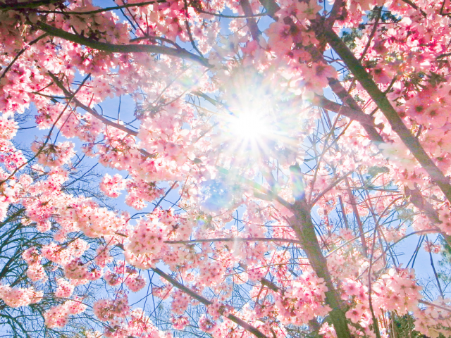 cherryblossom12 640x4801 Spring Around the World: 25 Fascinating Cherry Blossom Photos