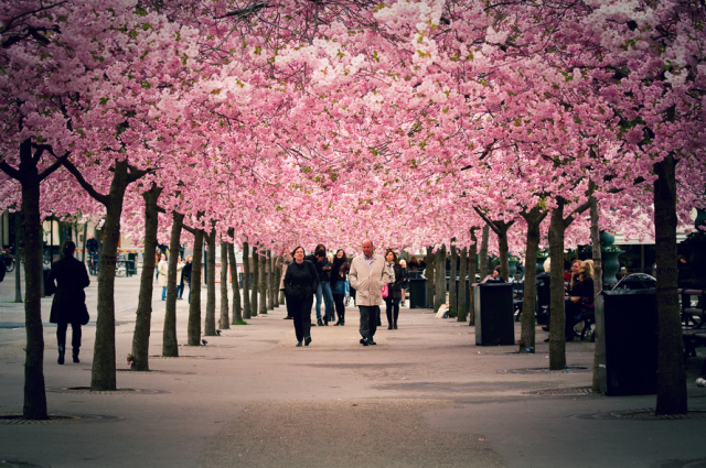cherryblossom13 640x4251 Spring Around the World: 25 Fascinating Cherry Blossom Photos