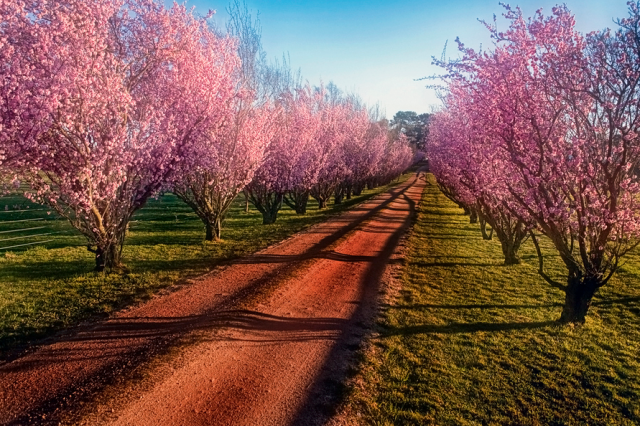 Cherry Blossom by Peter Daalder