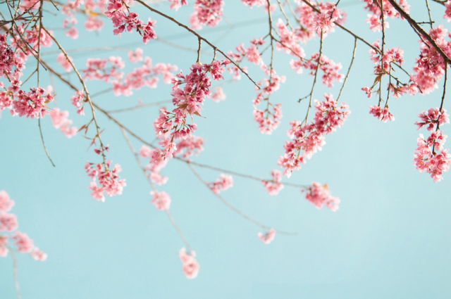 Cherry Blossom by Duy Tran
