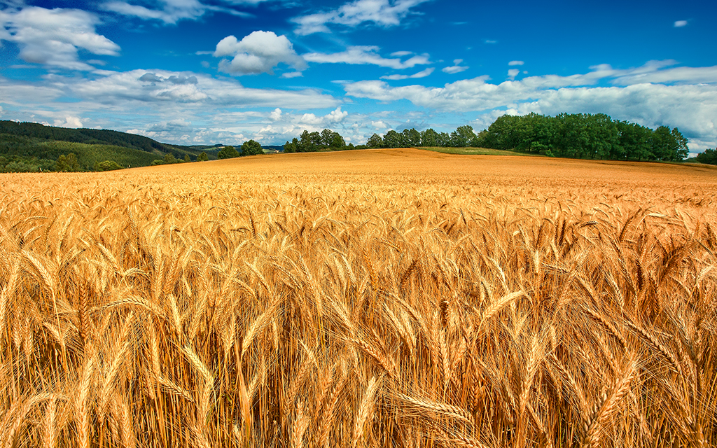 Golden Field By A.I. Inc.