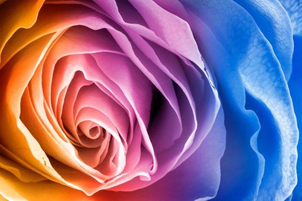 Vibrant Rose Macro HDR by Somadjinn