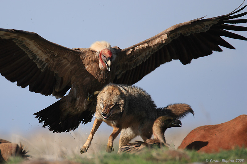Griffon Vulture and Jackal