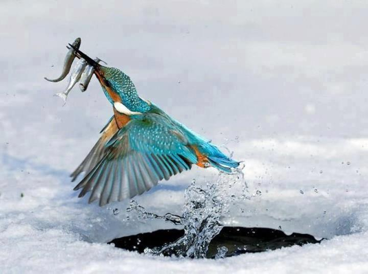 Kingfisher having a snack