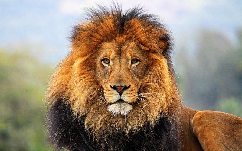 Lion by Batter Job