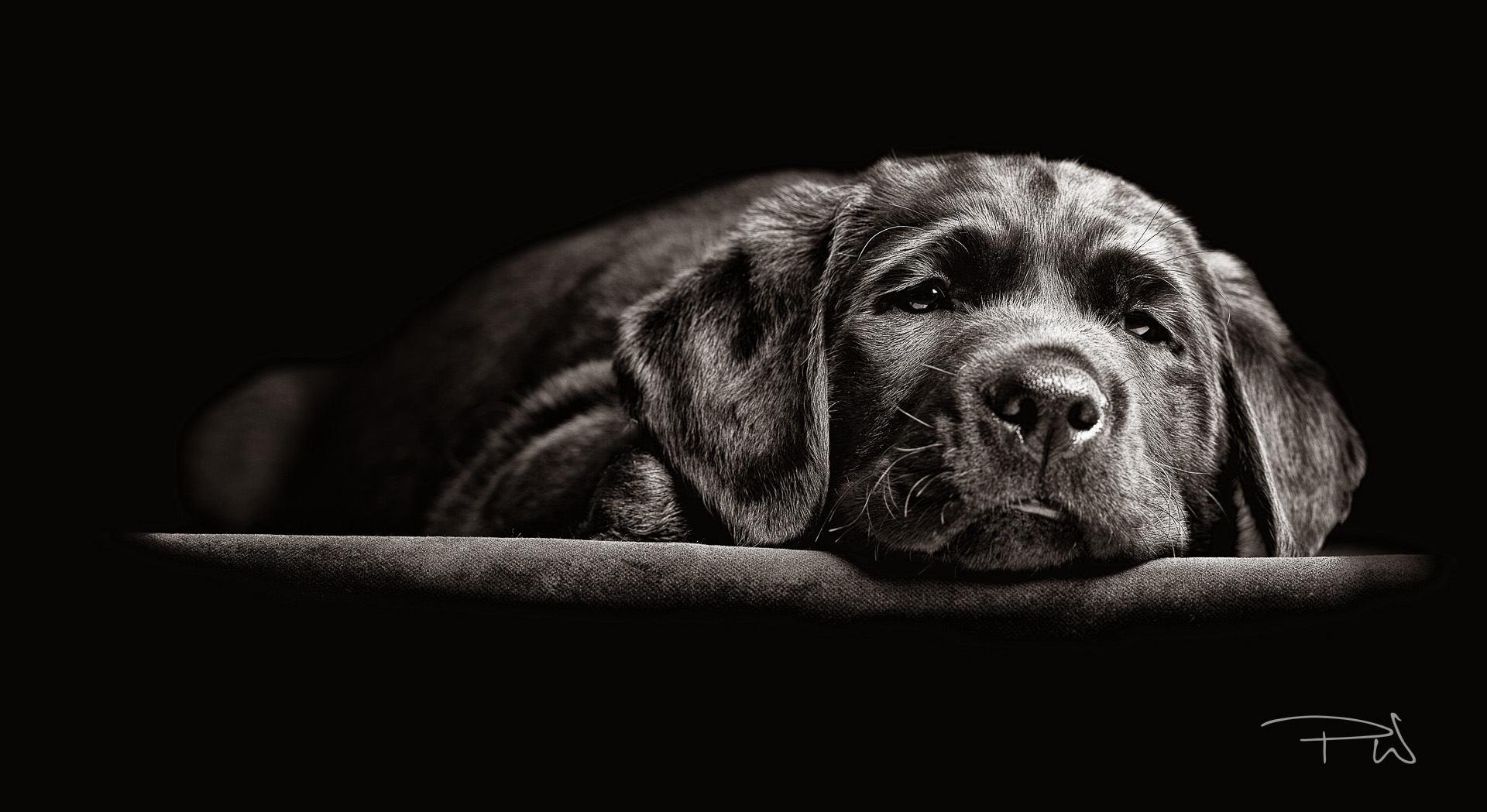 "Hearing Dog Puppy ""Guy"" by Paul Wilkinson"