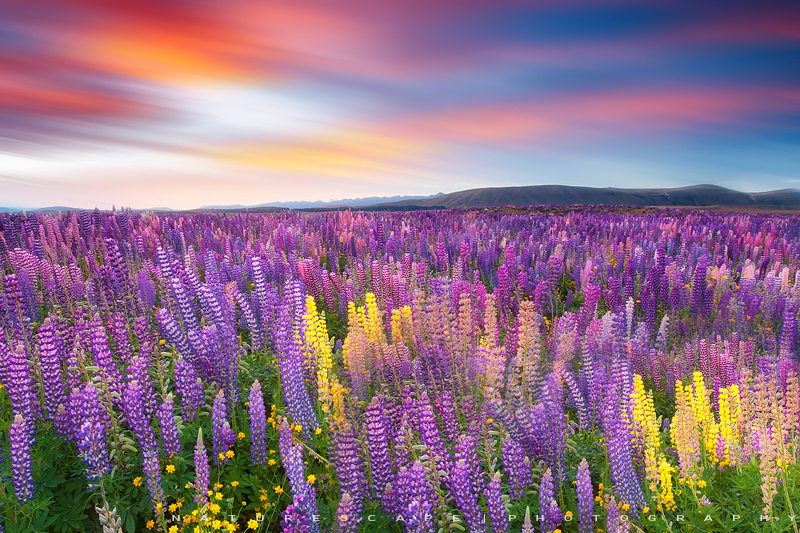 Land of Lupines by Nagesh Mahadev