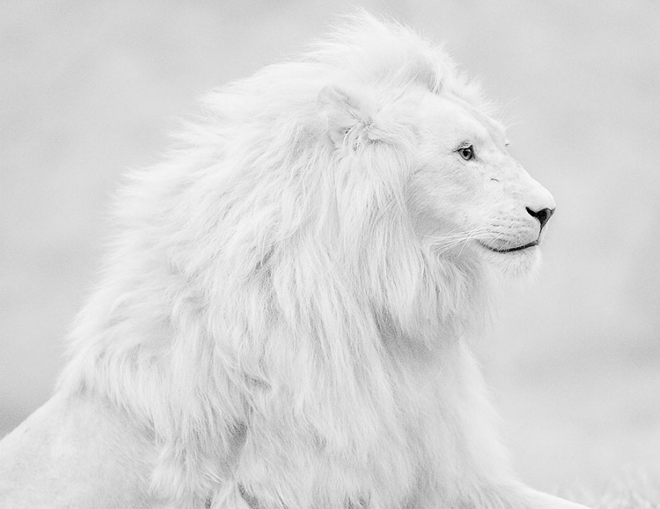 Beautiful Albino Lion by Shlomi Nissim