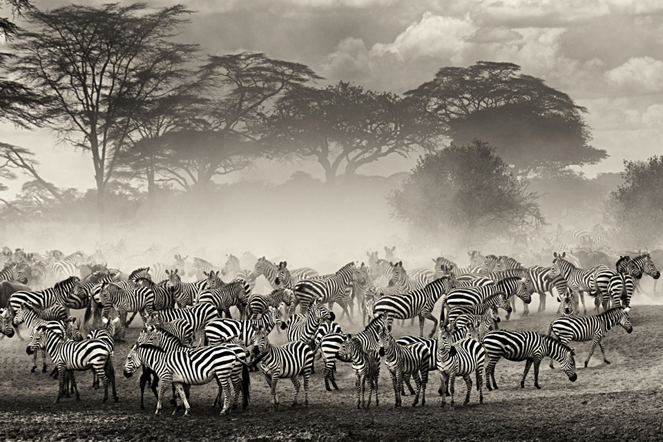 The Beauty Of The Zebra Herd by Giulio Zanni