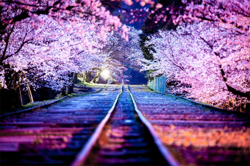 spectacular-cherry-blossoms-at-night-japan