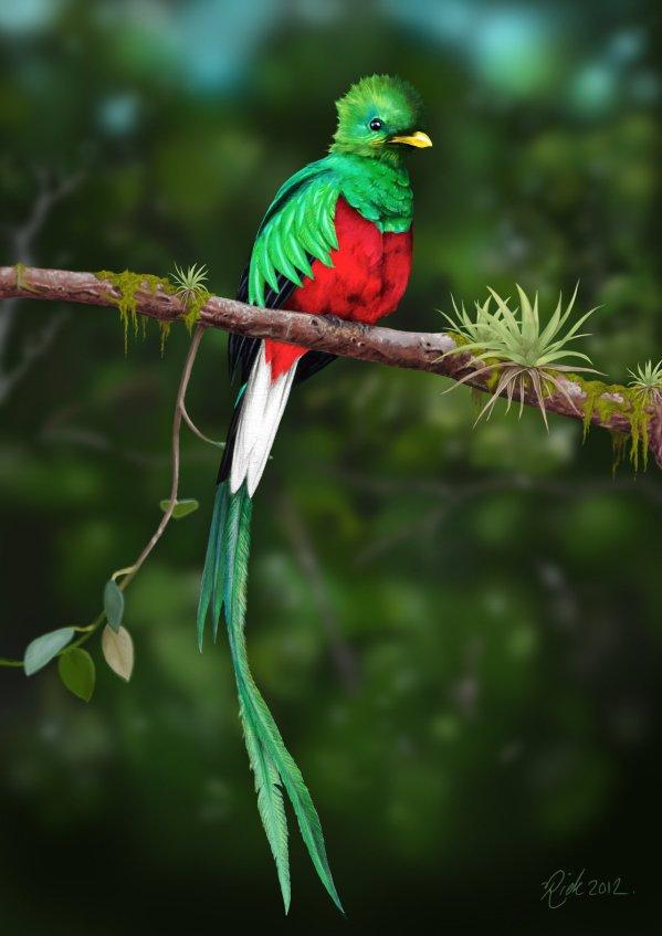 Resplendent Quetzal 2 by Rick-Lilley
